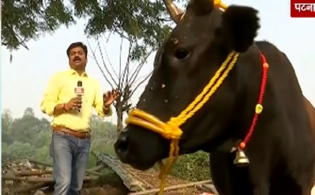 बिहार में दिवाली के बाद गाय की खास पूजा