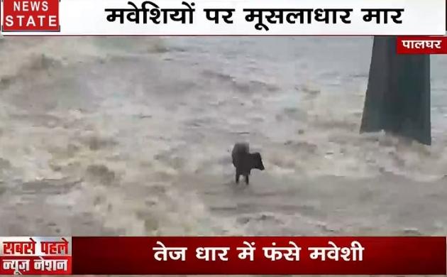 डूबती का नाम मुंबई! मवेशियों पर मूसलाधार मार, तेज धार में बह गईं गायें