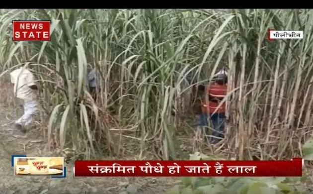 पीलीभीत के किसानों के सामने आई बड़ी मुसीबत,  हजारों एकड़ गन्ने की फसल में लगा 'कैंसर'