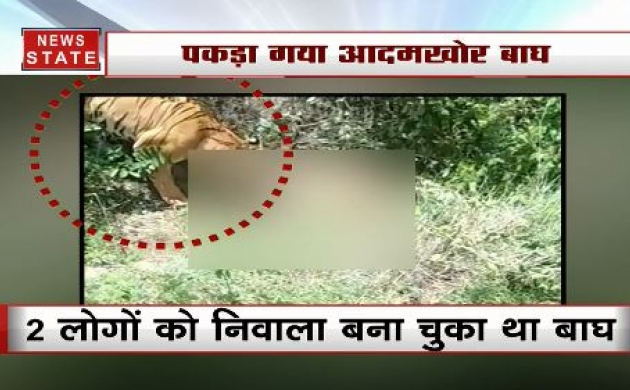 कर्नाटक: 5 दिन के कॉम्बिंग ऑपरेशन के बाद पकड़ा गया आदमखोर बाघ, 2 लोगों को बना चुका था अपना निवाला