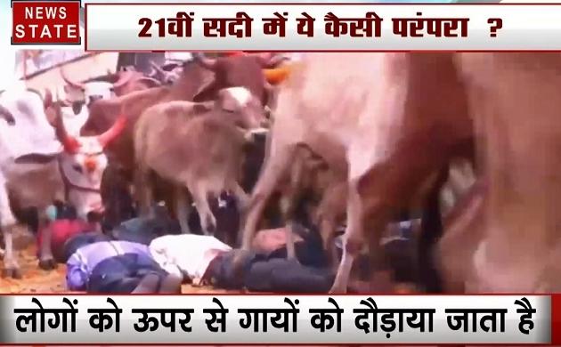 Madhya pradesh: आस्था के साथ जान जोखिम में डालने वाली परंपरा, लोगों के ऊपर से गुजरती हैं सैकड़ों गाय