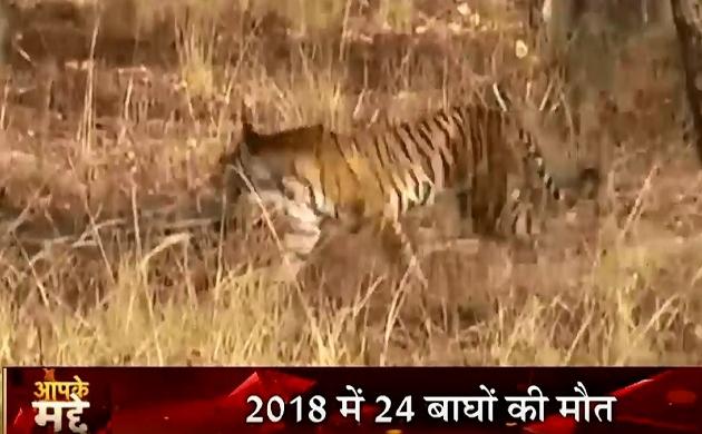 Madhya Pradesh: 'टाइगर स्टेट' में टाइगर पर मंडराया सितम, एमपी में बढ़ा बाघों की मौत का आंकड़ा
