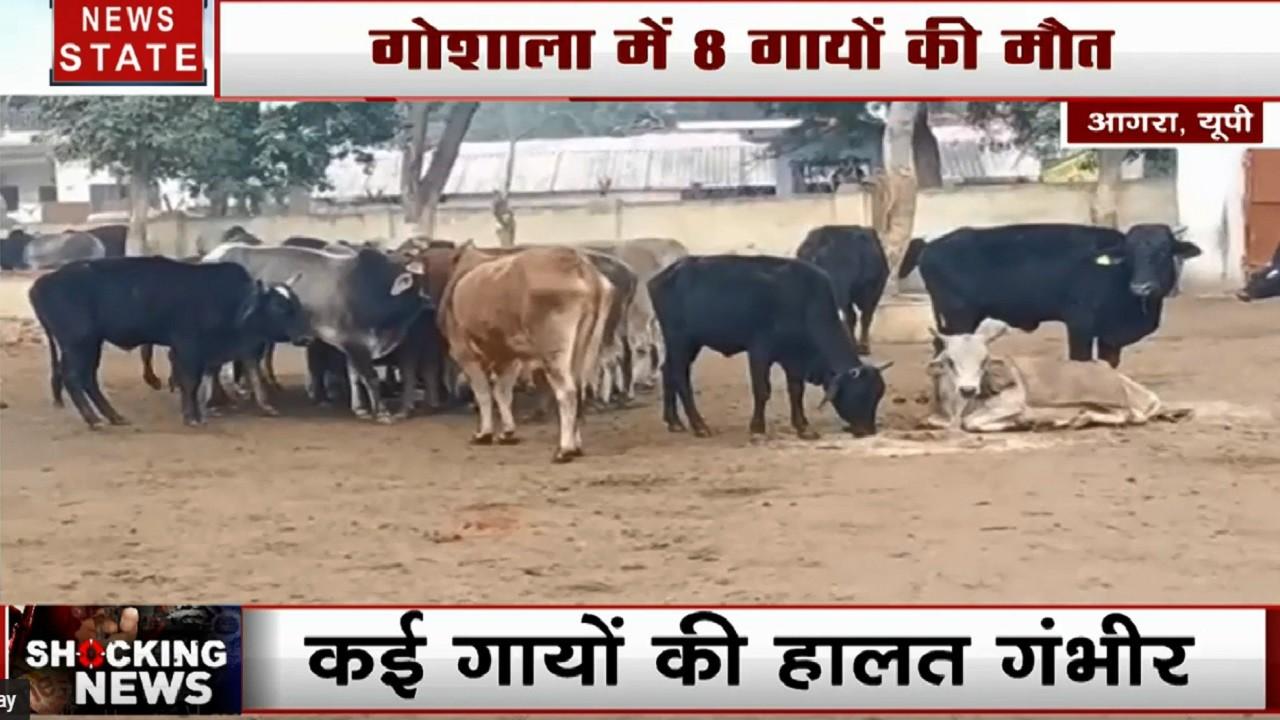 UP: आगरा की गौशाला में 8 गोवंश की मौत, ठंड से बेहाल कई गायों की हालात गंभीर, प्रशासन सख्त