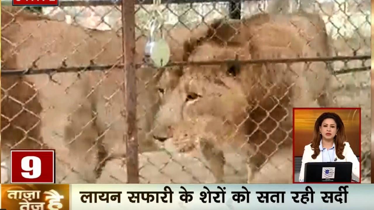 ताजा है तेज है: कोरिया में सर्दी ने तोड़ा 50 साल का रिकॉर्ड, लायन सफारी के शेरों को सता रही प्रचंड ठंड
